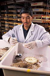 In laboratory,  David Oi collects infected fire ants. Link to photo information