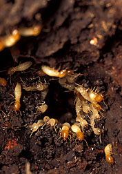 Formosan subterranean termites feed on trees and wood structures: Click here for full photo caption.