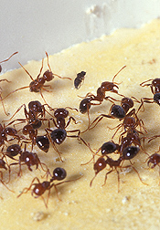 Fire ants will try hard to avoid the sting of a phorid fly (top, center): Click here for full photo caption.