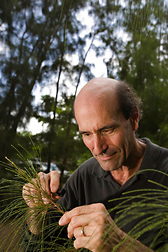 Entomologist examines one of the many Australian pines in the Everglades of southeast Florida: Click here for full photo caption.