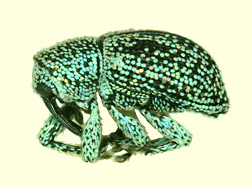 Potential future adult weevil biocontrol of Australian pine: Click here for photo caption.
