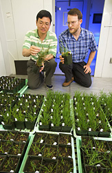 Photo: ARS geneticist Yong Gu (left) and molecular biologist John Vogel examine transgenic Brachypodium plants in a growth chamber. Link to photo information