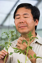 Plant pathologist inspects tomato varieties for resistance to pepino mosaic virus: Click here for full photo caption.