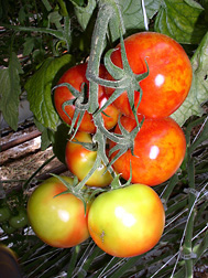 Poor quality fruits with uneven discoloration or flamelike symptoms caused by pepino mosaic virus infection in a commercial tomato greenhouse facility in Texas: Click here for photo caption.