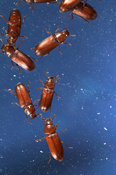 Red flour beetle, a pest of stored grains and grain products, is the first key agricultural pest to have its genome fully sequenced: Click here for photo caption.