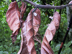 A branch of a cacao tree in western Ecuador killed by witches' broom disease: Click here for full photo caption.