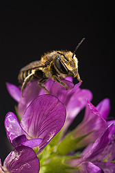 An alfalfa leafcutting bee (Megachile rotundata) on an alfalfa flower: Click here for full photo caption.
