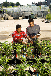 Biological science aides measure leaf development of potatoes grown at different levels of nutrient stress: Click here for full photo caption.