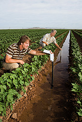Visiting University of Arizona research specialist (foreground) records the water advance time in a cotton furrow while an ARS physical science technician measures the furrow water depth: Click here for full photo caption.