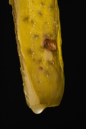 A preserved cucumber that has developed red-colored spoilage from Lactobacilli: Click here for photo caption.