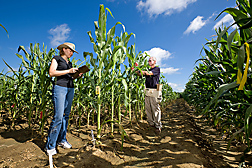 Molecular geneticist and geneticist tag corn plants identified in the lab as having molecular markers associated with resistance to Aspergillus flavus and aflatoxin accumulation: Click here for full photo caption.