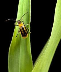 Adult female western corn rootworm, Diabrotica virgifera virgifera, on a corn leaf: Click here for photo caption.
