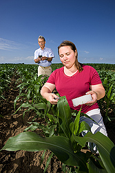 Geneticist collects corn leaf tissue for DNA genotyping while another geneticist records field observations with a hand-held field computer: Click here for full photo caption.
