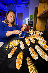 Geneticist examines and shells seed of the NAM inbred line founders: Click here for full photo caption.