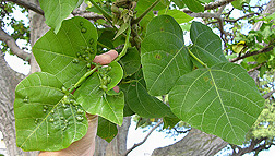 Light infestation of galls on coral tree leaves: Click here for photo caption.