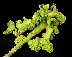 Heavy infestation of galls on coral tree leaves: Click here for photo caption.