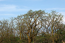 Gall-infested native wiliwili trees in Maui: Click here for photo caption.