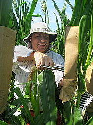 A North Carolina State University research assistant pollinates a corn plant: Click here for full photo caption.