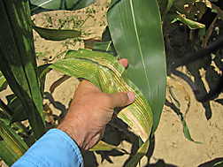 Photo: Left corn leaf exhibiting hypersentive response (mottled yellowing) compared to leaf on the right which does not have the gene for the trait. Link to photo information