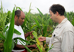 ARS plant geneticist (right) and postdoctoral researcher examine mutant corn plants for hypersensitive response lesions: Click here for full photo caption.