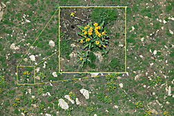 Image taken from about 300 feet above the ground. The blooming plant, growing on a slope in Wyoming, is arrow-leaf balsamroot (Balsamorizha sagittata). A photo taken later that year showed that this area had become covered with cheatgrass (Bromus tectorum), an invasive weed that increases the chance of wildfire: Click here for photo caption.