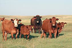 Photo: Red Angus cows and calves in a field. Link to photo information