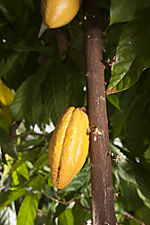 A maturing cacao pod on a cacao tree: Click here for photo caption.