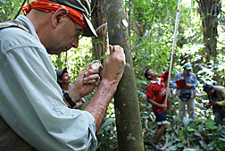 Using a sterile technique, ARS scientist extracts a sample of living plant tissue from a wild cacao tree on the bank of Rio Marañon in Peru: Click here for full photo caption.