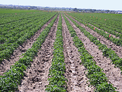 Photo: Field of potatoes planted in the conventional raised ridge pattern. Link to photo information