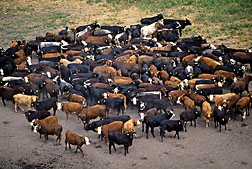 Photo: Cattle in a feedlot. Link to photo information