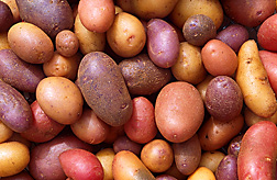 The potato is the vegetable of choice in the United States. ARS scientists are now working to develop potato varieties with resistance to wireworms: Click here for photo caption.