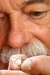 ARS physiologist Peter Teal topically applies methoprene to a newly emerged adult male Caribbean fruit fly: Click here for full photo caption.