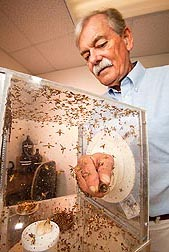 ARS physiologist Peter Teal collects sterilized male Caribbean fruit flies to evaluate the effects of methoprene in accelerating sexual development: Click here for full photo caption.