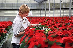 ARS entomologist Cindy McKenzie inspects poinsettias for damage during tests of ornamental peppers as banker plants that host beneficial predatory mites: Click here for full photo caption.