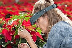 "Technician Katherine Houben (from the University of Florida) looks for beneficial insects on a papaya plant serving as a ""banker plant"" in a crop of poinsettias: Click here for full photo caption."
