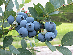 The superior flavor of Sweetheart blueberries isn't lost during storage: Click here for photo caption.