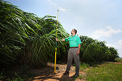 Photo: ARS geneticist William Anderson measures the height of napiergrass. Link to photo information