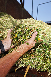 Chopped up napiergrass from research plots: Click here for full photo caption.