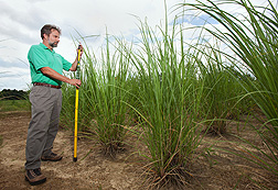 In Tifton, Georgia, geneticist Bill Anderson measures the height of energy cane in an experiment on production practices for growing the crop on marginal soils: Click here for photo caption.