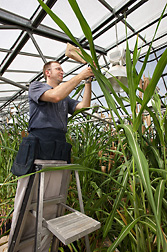 Molecular biologist Scott Sattler places a pollination bag over the grain head of a hybrid plant that is a cross between a cultivated sorghum and a wild African sorghum bicolor species: Click here for photo caption.