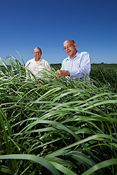 Geneticist Ken Vogel (left) and molecular biologist Gautam Sarath compare switchgrass plants that were produced by mating plants from upland and lowland ecotypes with their parents: Click here for photo caption.