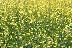 Brassica juncea is one of several oilseed crops being studied for potential use in biofuel production: Click here for photo caption.