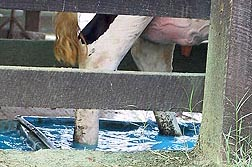 Photo: Dairy cow wading through a copper sulfate bath to help prevent foot infections. Link to photo information