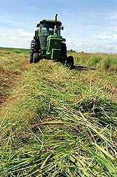 ARS scientists have been studying switchgrass for decades to determine if it is a viable feedstock for bioenergy production: Click here for photo caption.