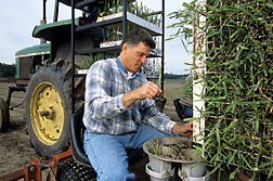 Technician David Verdun transplants energy cane seedlings into the field: Click here for full photo caption.