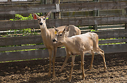Two of about 60 deer at the ARS National Animal Disease Center in Ames, Iowa: Click here for full photo caption.