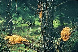 A loblolly pine with sporulating cankers on its branches and a small one on the main trunk, caused by the fusiform rust fungal pathogen, Cronartium quercuum f.sp. fusiforme: Click here for photo caption.