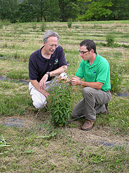 Entomologist Lindsey Milbrath (left) and biologist Jeromy Biazzo examine a pale swallowwort plant in a research plot: Click here for photo caption.