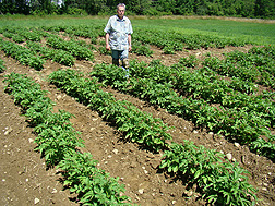 Plant pathologist Bob Larkin examines a potato field for disease: Click here for photo caption.