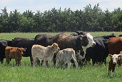 Photo: Cattle from the germplasm evaluation project at the Roman L. Hruska U.S. Meat Animal Research Center in Nebraska.  Link to photo information